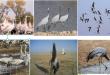 طائر الكركي (الرهو) يحط في البادية الأردنية – بقلم الأستاذ الدكتور بشير جرار