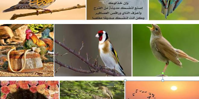 من بيولوجيا التغريد: طيور فيروز كنموذج – بقلم الأستاذ الدكتور بشير جرار